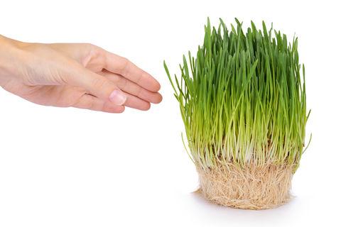 Zelený jačmeň mladé výhonky