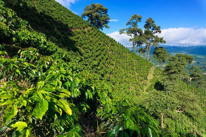 Kávovníková plantáž