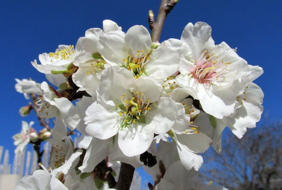 Kvety mandle
